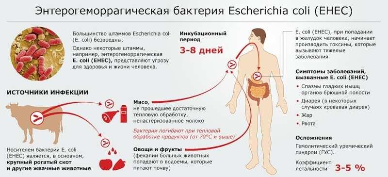 Пути попадания E Coli в организм